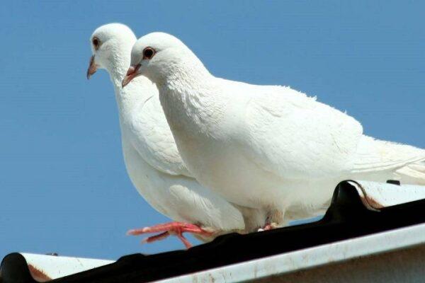 روش نگهداری کبوتر | نوین کبوتر