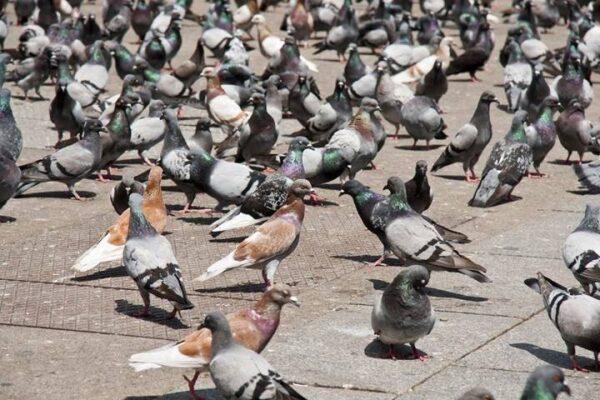 منشأ کبوترهای اهلی یا خانگی | نوین کبوتر