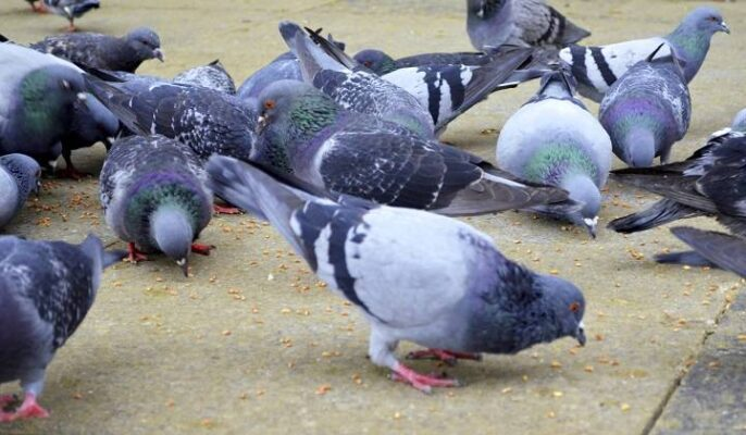 پرورش کبوتر | نوین کبوتر
