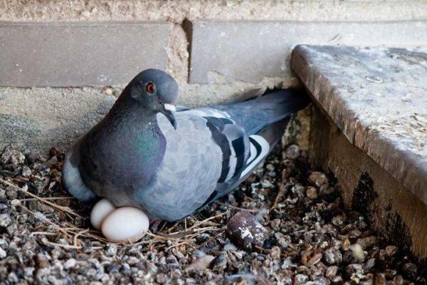 کبوتر و کبوترداری | نوین کبوتر
