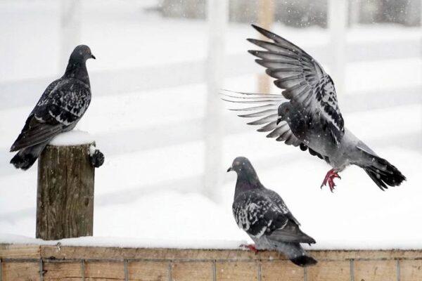 اهداف کبوتردارای | نوین کبوتر