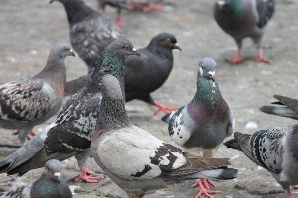 اهلی کردن کبوتر | نوین کبوتر